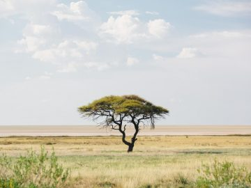 A tree in an open desert under blue skies