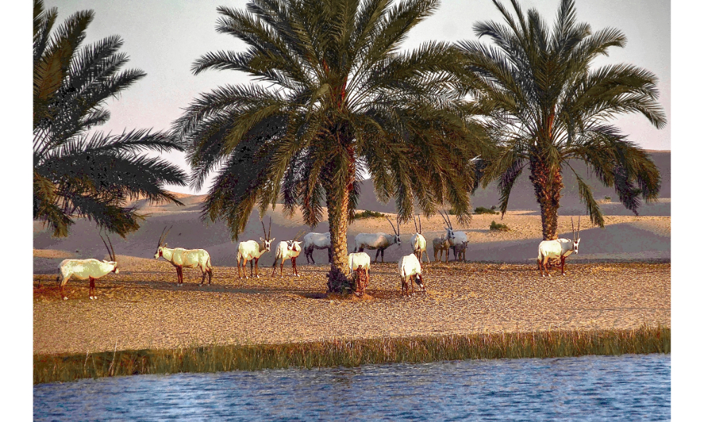 Gazelles at the resort