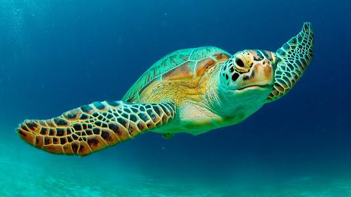Wildlife for green sea turtle