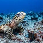 Wildlife Hawksbill Turtle
