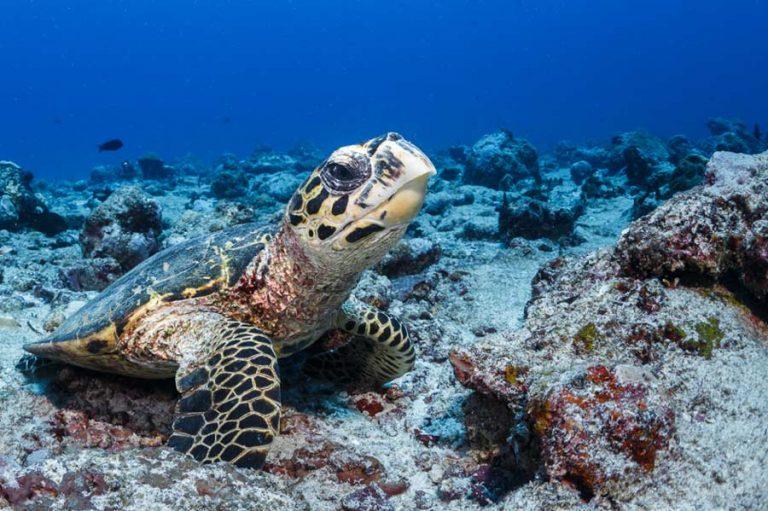 Wildlife Hawksbill Turtle