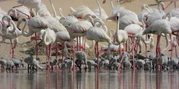 Flamingo chicks in Al Wathba