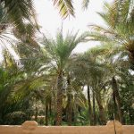 Palm Trees in Al Ain