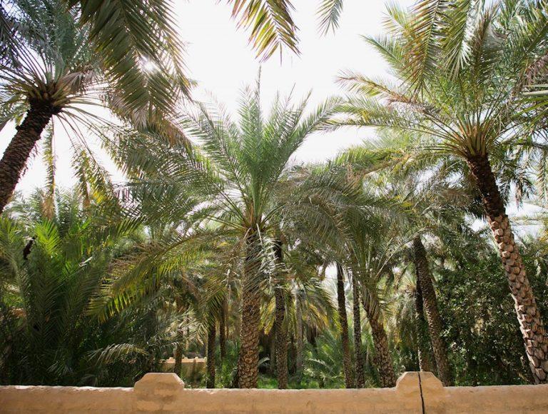 Palm Trees in Al Ain